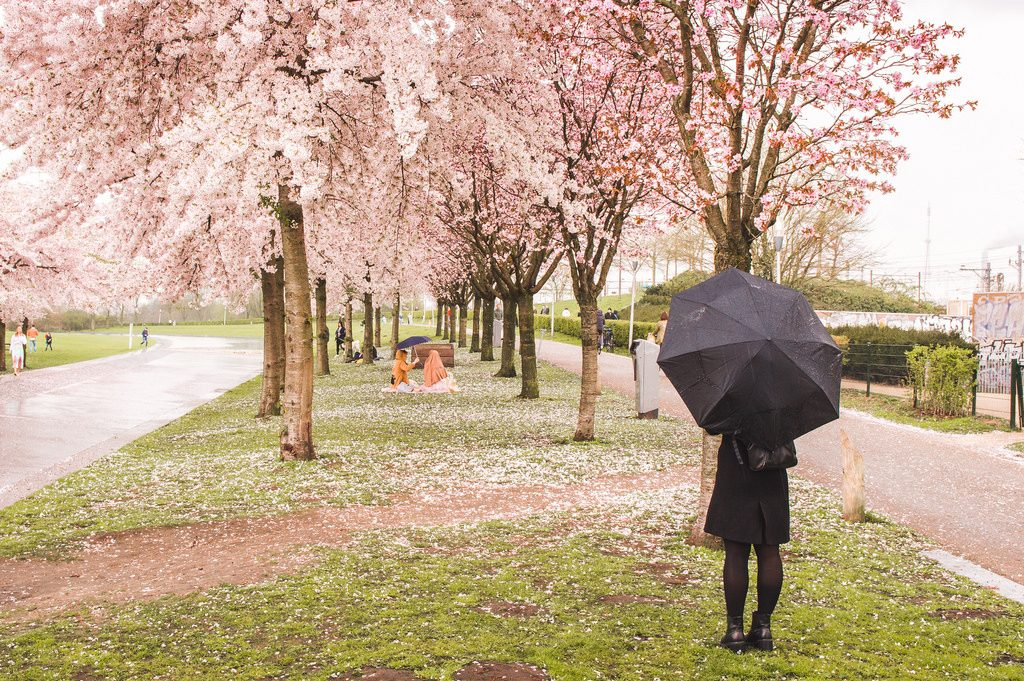 A woman with a black umbrella looks at a pair having a picnic underneath pink cherry trees