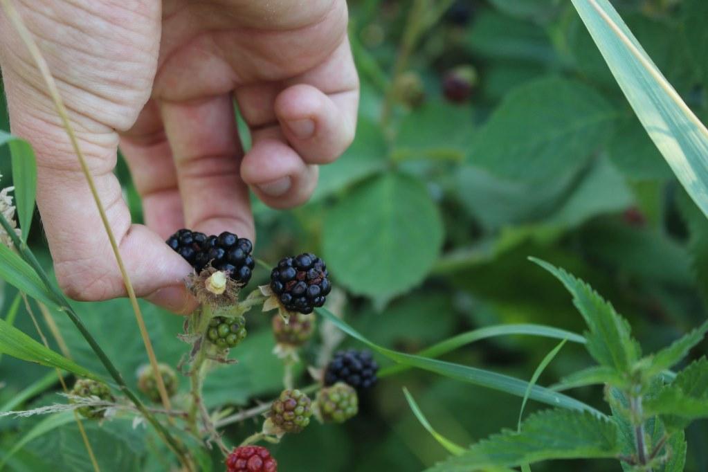 Wilde bramen plukken (picking wild blackberries)
