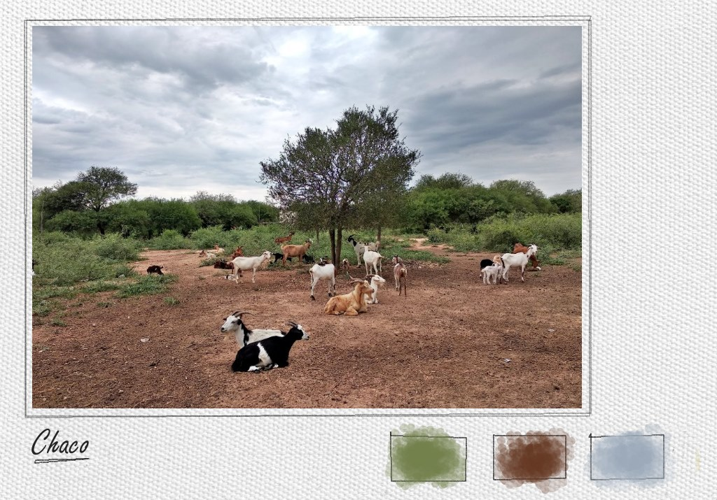 Goats in a small village in the northern Chaco, Argentina