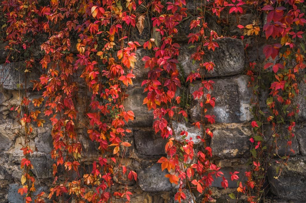 Fiery red autumn leaves on a historic stone wall