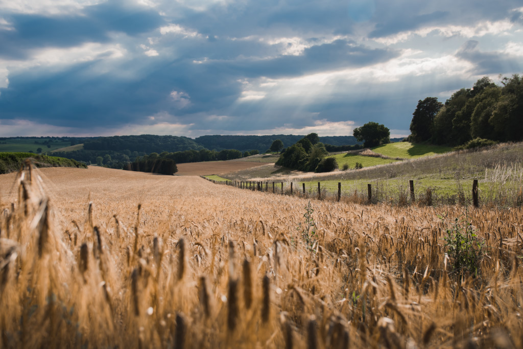 Wheat fields in Limburg, the South of the Netherlands